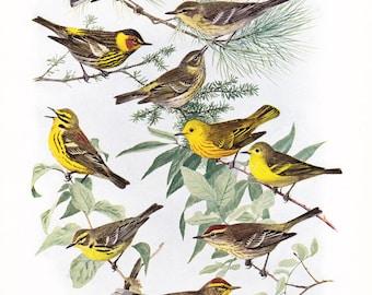 1917 Bird Print - Plate 95 - Warblers - Vintage Antique Art Illustration by Louis Agassiz Fuertes 100 Years Old