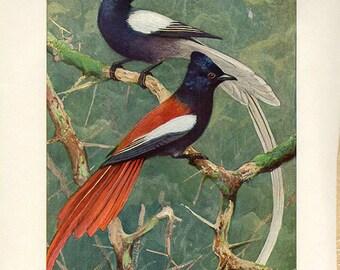 Vintage Antique Brehms Paradise Bird Print, 1900 German artist painting illustration color lithograph book plate