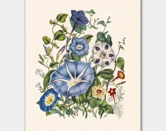 "Botanical Print, Cottage Chic Decor (Victorian Flower Art) ""Morning Glory"""