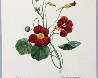 Capucine flower print, Redoute Botanical print, Red nasturtiums, Wall decor
