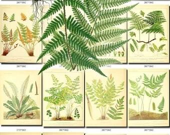 FERNS-6 Collection of 165 vintage images Pteris Trichomanes Scolopendrium botanical High resolution digital download printable 300 dpi