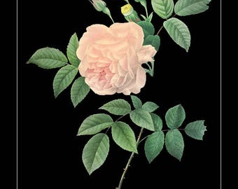 French Botanical Print with Black Background - Rose Print - Flower Poster - Pink Red Wall Art Home Decor #vi715