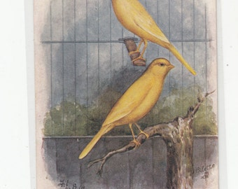 Tuck Prized Canaries Great Rendering Antique Postcard