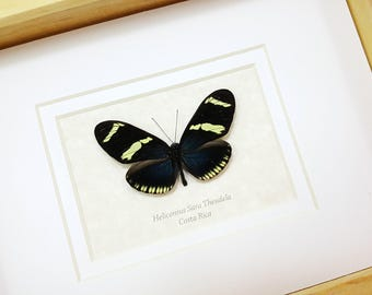 FREE SHIPPING Framed Real Heliconius Sara Theudela Longwing Butterfly Taxidermy High Quality A1