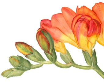 Freesia Botanical Print - Botanical Watercolor Art Painting by Sally Jacobs - Orange Yellow Green Flower Print