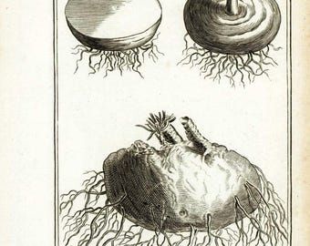 1797 Antique Tuber Root Drawing Authentic Botanical Lithograph Natural History Wall Art Home Decor