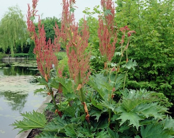 Rheum CHINESE RHUBARB Red to Green Leaves Dinosaur Plant Flower Stalks Can Grow 10 Ft Tall Moisture & Part Shade~