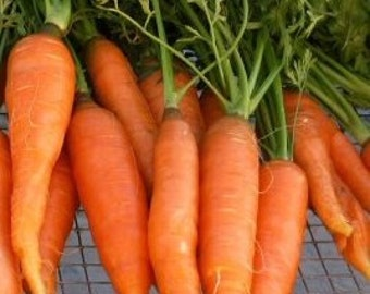 Carrot Seeds- Touchon- French Heirloom- 200+ Seeds