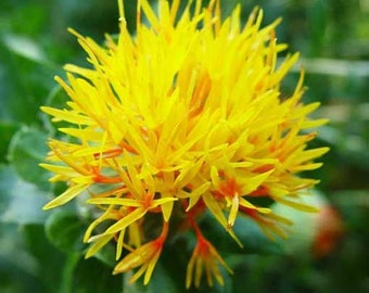 Carthamus Tinctorius - 50 Seeds - Safflower - False Saffron