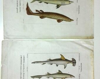 Stampa antica pesci 1830-1851