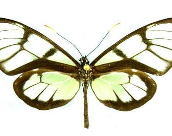 Supplies for your artworks - dried insects - :  5 butterflies Dircenna adina xanthophane , ithomiinae  ,UNMOUNTED A1 quality,  FREE SHIPPING