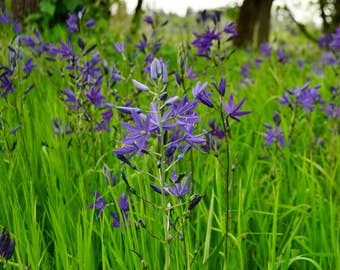 Blue Camas Seeds (Camassia quamash) 10+ Rare Medicinal Herb Seeds in Frozen Seed Capsules plus FREE 6 Variety Seed Pack!
