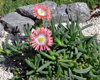 Delospermum, Red Carpet, Ice Plant for Miniature Garden, Fairy Garden