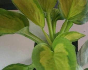 Pocketful of Sunshine Hosta Bareroot Plants (3 for 21.99)