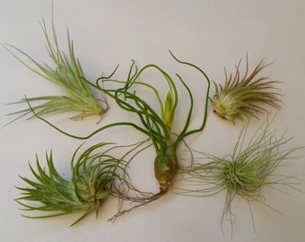 Air Plant - 5 Pack Assortment #2 - Tillandsia Tropical Terrarium Houseplants