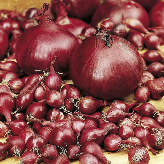 Onion Bulbs - RED - Great for Salads & Sandwiches - Mild, Sweet Onion - 50 Sets
