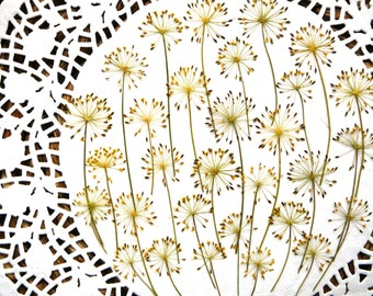 Dried pressed flowers for crafting, real dried Dill flowers 25 pcs.