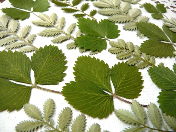 Dried pressed silver green leaf, real dried leaves ...