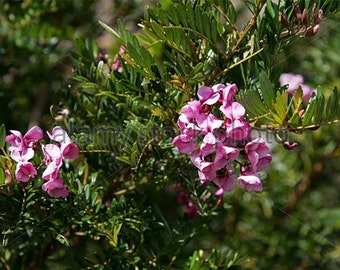 Virgilia divaricata keurboom Blossom Tree in-a-Hurry Cape Virgilia Flower