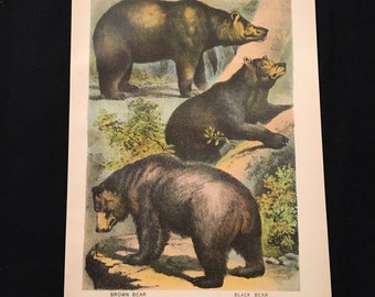 Varieties of Bear - Antique Print, Plate XXIII: Carnivora, Original 1880 Color Lithograph