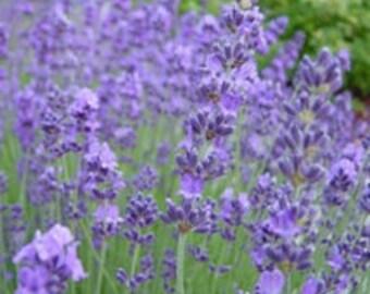 Lavender Lady Live Plants Herb Plants Perennual Plants From Plug
