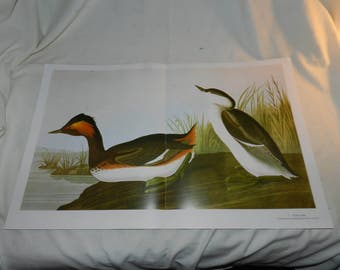 Eared Grebe 2 page spread / Horned Grebe -1 Page from Audubon's Birds of America Baby Elephant Folio c. 1990 - Ready to Frame Wall Art 55-17