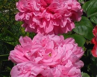 Peony Seeds - Pink Poppy