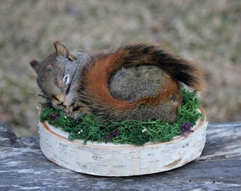 Sleeping Red Squirrel Life-size Taxidermy Mount