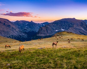 Elk Grazing in the Rocky Mountains