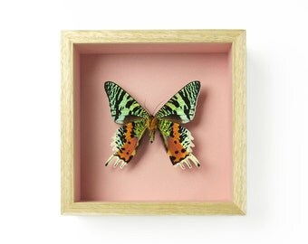 Chrysiridia rhipheus #0024 Real Butterfly Entomology Taxidermy on Pink Framed in Oak Timber Shadow Box Display