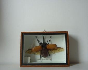 Frame window with Eupatorus Gracilicornis / taxidermy, 1960s vintage