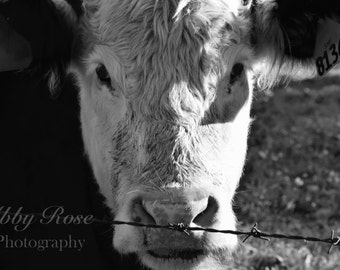 Black & White Photography, Cow Photography, East Coast Photography, Country Photography, Wall Art