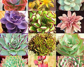 Echeveria 20 Seeds (Mixed) Slender, Chubby, Sleek, Carunculated, Fuzzy and Tough