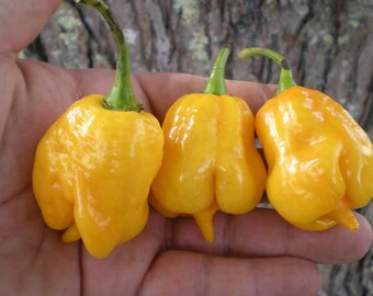 Hot Chilli Peppre - Trinidad Scorpion Yellow (10 SEEDS)