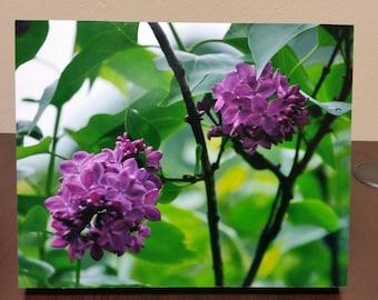 Mounted Photo of Purple Lilacs