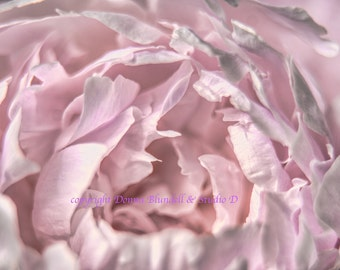 Pink Peony. Lost in a cloud of pinks. Fine Art Photography. Varying sizes available