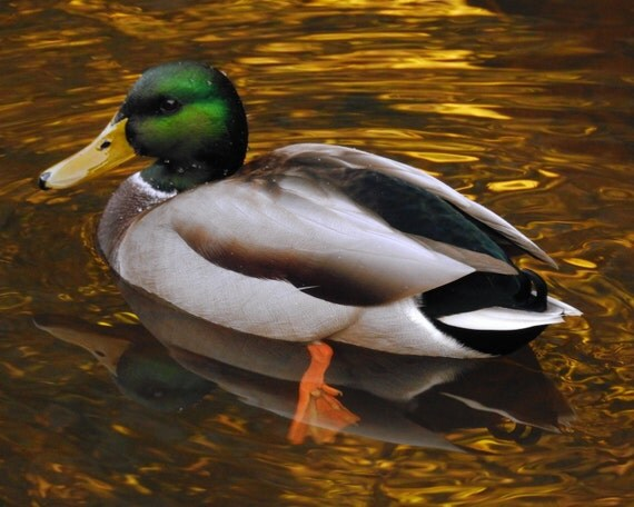 duck on golden water