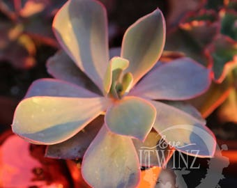 Echeveria Afterglow Purple Pink Red Rare cactus succulent Mother's Day Gift