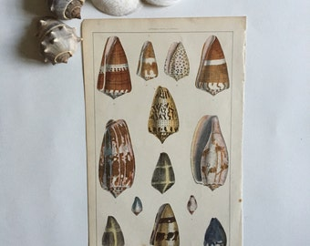 Antique Shells Print / Vintage Wall Art / Ready to Frame Illustration
