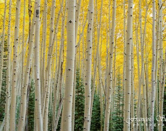 Photo printing: Aspen forest in Colorado (United States)