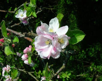 Live 'Dorsett Golden' Apple Trees Grafted 3 to 4 Feet Tall!!! (Produces in Warm Climates)