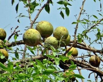 200 Aegle marmelos Bengal quince, stone apple Bilva Seeds