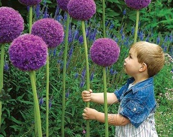 80 Pcs Purple Giant Allium Giganteum Flower Seeds Garden Plant Beautiful
