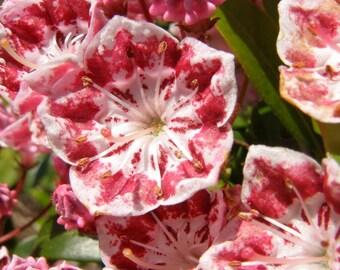 50 MOUNTAIN LAUREL White Pink Red Kalmia Latifolia Shrub Bush Seeds * Comb S/H