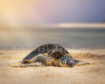 Animal and Landscape Photography, Wall Art in Canvas, Metal, and Photo Print; Hawaiian Turtle Honu