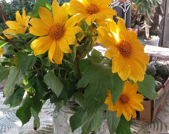 Mexican Sunflower Tithonia diversifolia Stem Cuttings Free Shipping!!