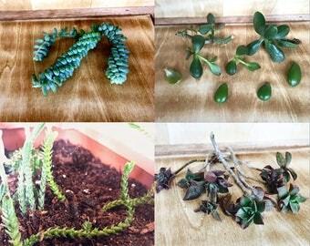 Assorted succulent cactus cuttings (5 cuttings)