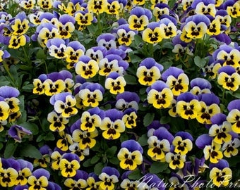Pansies in a garden