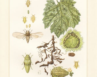 Vintage lithograph of grape wine louse or grape phylloxera from 1956