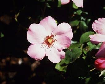 WILD ROSE - photo print